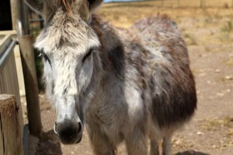 Heather the donkey